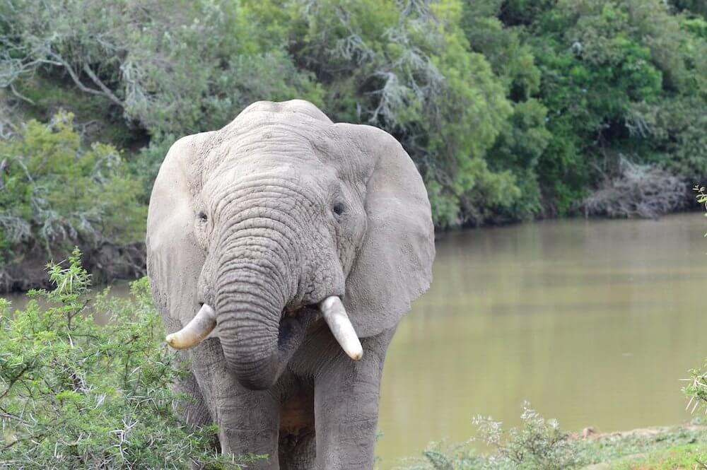 Best Places to Safari in Africa- cute baby elephant in Amakhala national park