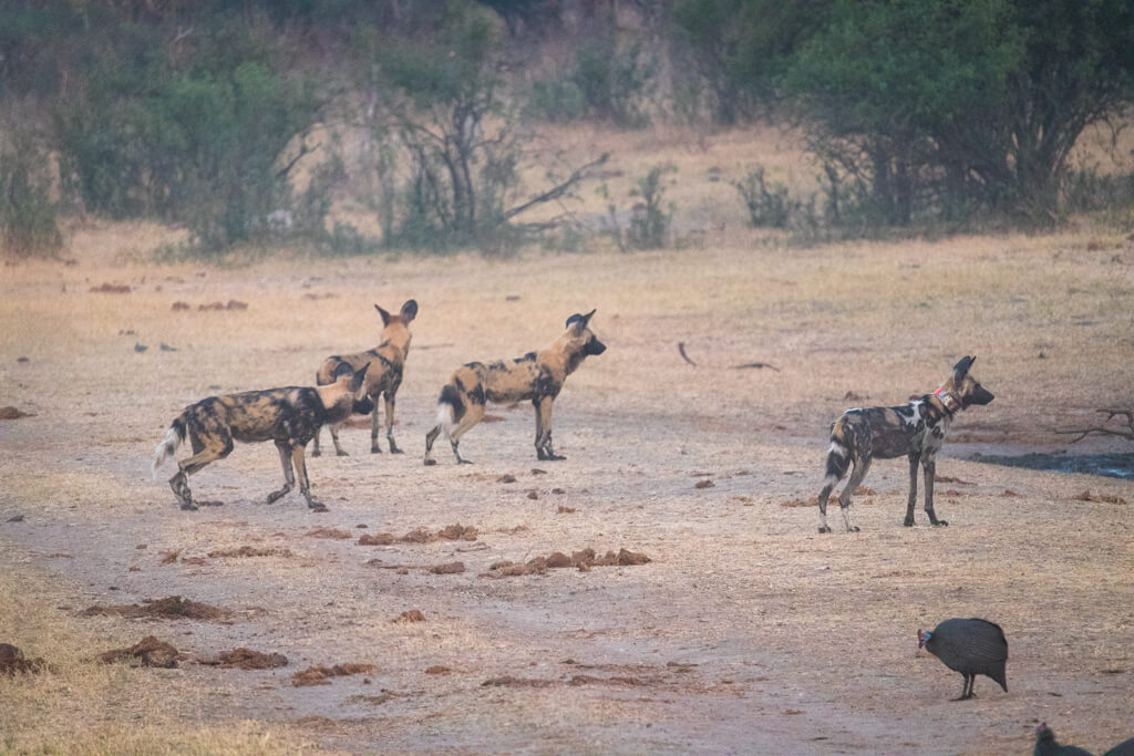 Best places to safari in Africa - painted dogs in Hwange national park