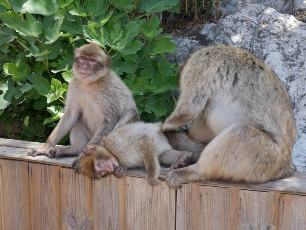 Things to do in Gibraltar - Barbary Monkeys