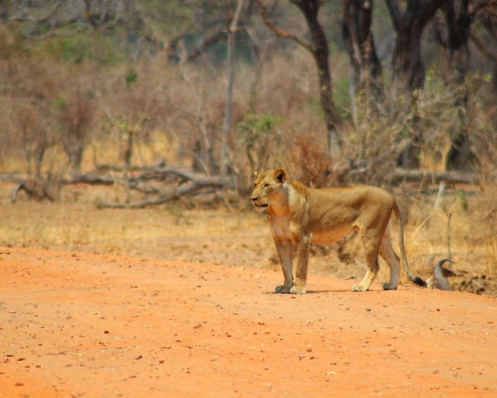 Best Places to Safari in Africa - Lioness in South Luangwa National Park