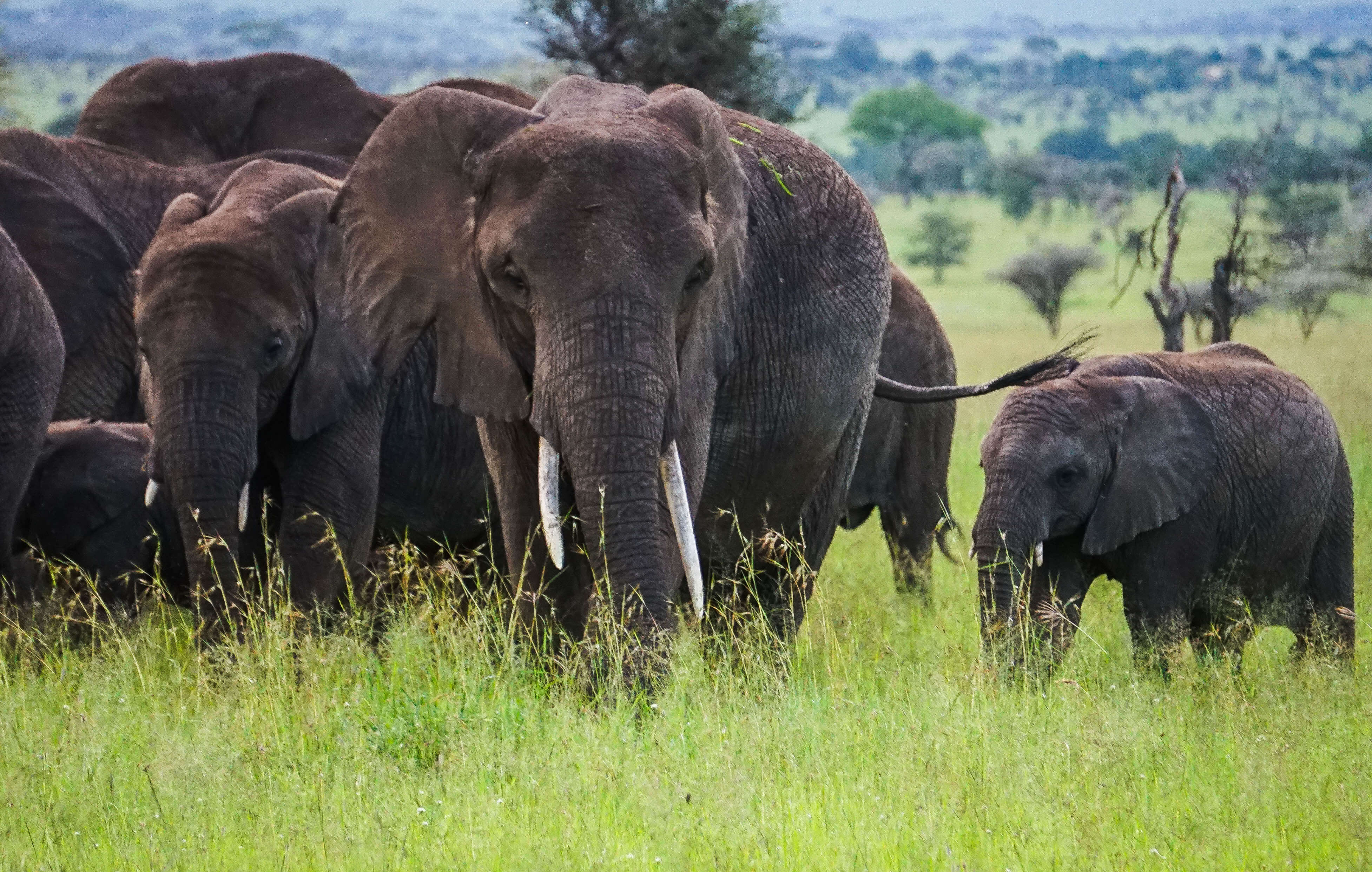 The Best Places to Safari in Africa - Elephants in Tanzania Serengeti